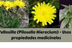 Vellosilla (Pilosella Hieracium) - Usos y propiedades medicinales
