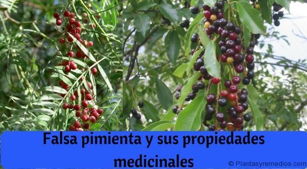 Falsa pimienta (Schinus molle) y sus propiedades medicinales