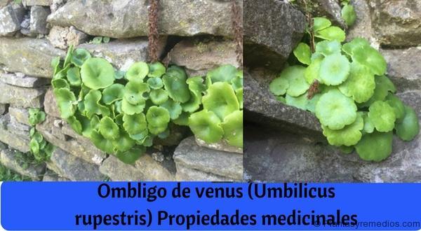 Ombligo de venus (Umbilicus rupestris) Propiedades medicinales
