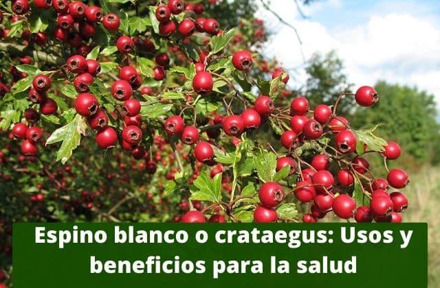 Espino blanco o crataegus_ Usos y beneficios para la salud